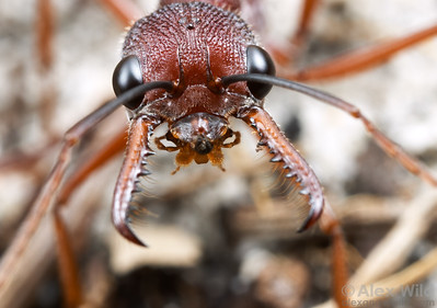 A testy bulldog ant (Myrmecia nigriscapa) advances on the camera that intrudes on her nest.  The large eyes of this ant give her excellent vision.  Wilsons Promontory National Park, Victoria, Australia
