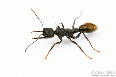 Myrmecia piliventris
