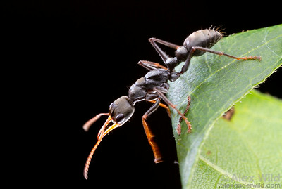 Myrmecia pilosula, the jack jumper ant, is so-named for an unusual ability to jump.  Harrietville, Victoria, Australia