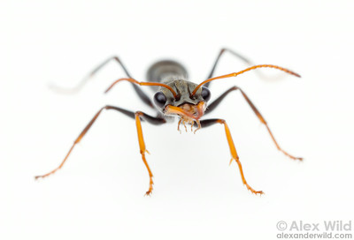 Myrmecia pilosula, the jack jumper ant.  Harrietville, Victoria, Australia