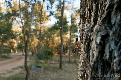 Myrmecia nigriceps