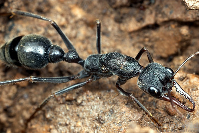 Myrmecia pyriformis, brown bull ant queen.  Yandoit, Victoria, Australia