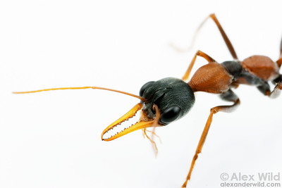 Myrmecia nigrocincta