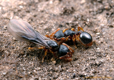 Myrmecina americana, young queen with worker.  South Bristol, New York, USA