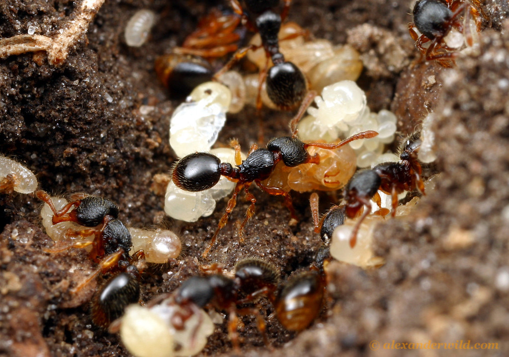 Myrmecina americana nest with brood in varying stages of development.  South Bristol, New York, USA