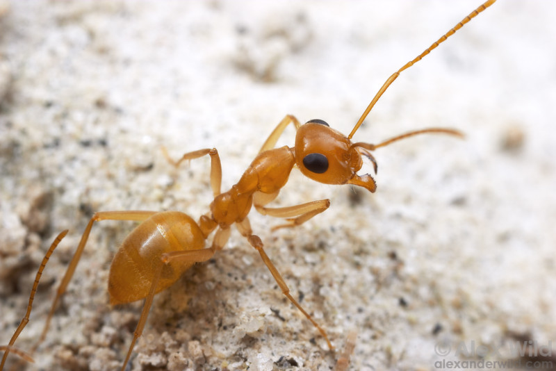 Myrmecocystus navajo, a night-active honeypot ant.  Willcox, Arizona, USA
