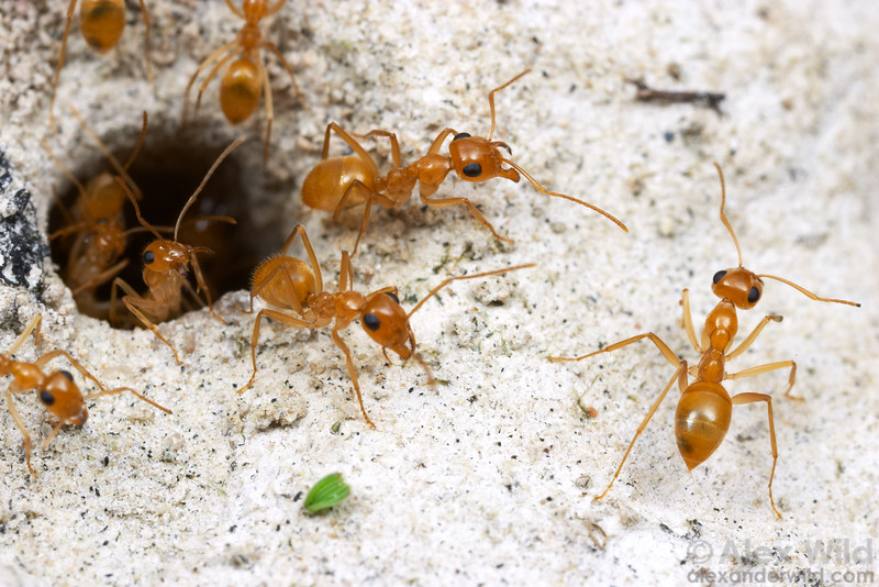 Myrmecocystus honeypot ant species come in three basic color patterns, depending on the time of day that they forage.  The orange/yellow species such as this M. navajo are nocturnal.  These ants were photographed leaving their nest entrance to forage shortly after dusk.  Willcox, Arizona, USA