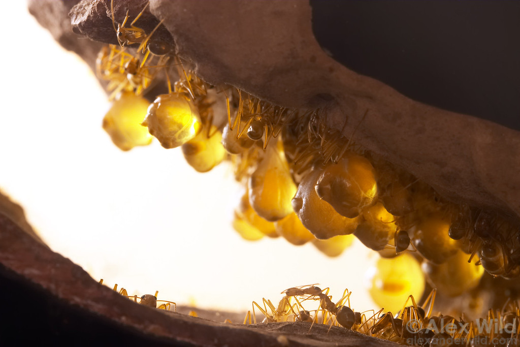 "Myrmecocystus mexicanus. Honeypot ants have an unusual food storage system.  Some members of each colony act as living receptacles known as ""repletes"", these ants become engorged with food and hang from the ceilings of chambers deep underground.    Captive colony at the California Academy of Sciences"