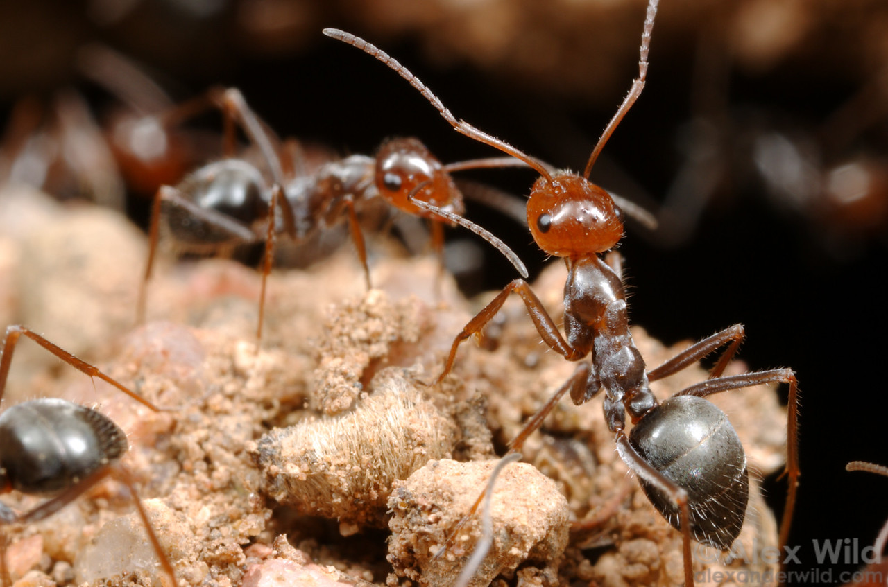 Myrmecocystus depilis  Portal, Arizona, USA