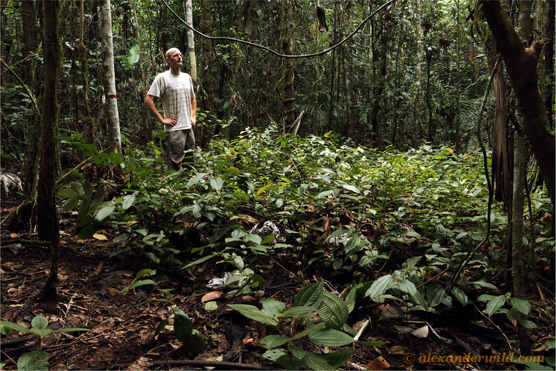 Alex Wild surveys a Devil's Garden of Tococa  plants.  Jatun Sacha reserve, Napo, Ecuador