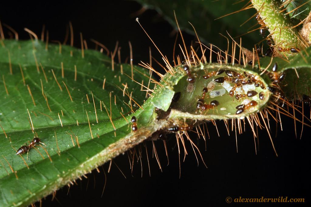 Cutting open the hollow base of a Tococa leaf reveals a colony of tiny Myrmelachista ants.  Jatun Sacha reserve, Napo, Ecuador
