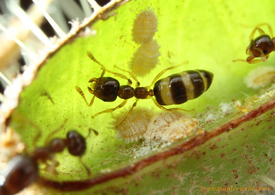 Myrmelachista workers with brood and mealybugs inside a domatium of a Tococa plant. This ant's gaster is swollen with honeydew collected from the mealybugs.  Jatun Sacha reserve, Napo, Ecuador