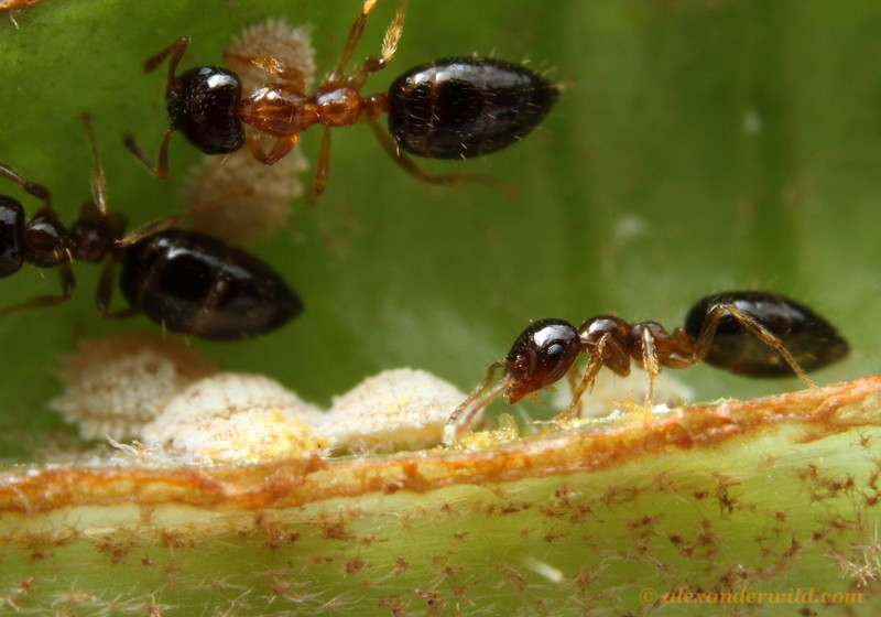 Myrmelachista workers with mealybugs inside a domatium of a Tococa plant.   Jatun Sacha reserve, Napo, Ecuador