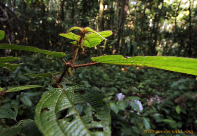 Clidemia bush growing in a devil's garden, a monoculture caused by symbiotic Myrmelachista ants that live in the plants' domatia and kill saplings of competing species.  Jatun Sacha reserve, Napo, Ecuador