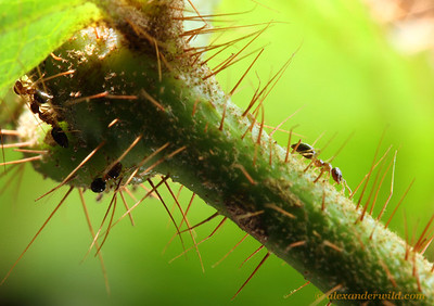 Tiny Myrmelachista ants run down the stem of their Tococa plant in a devil's garden.  Jatun Sacha reserve, Napo, Ecuador