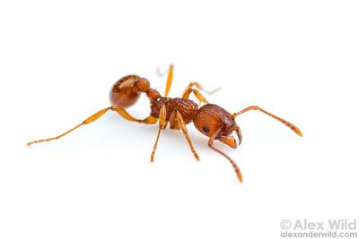 """Myrmica sp. """"AF-evanida"""""""