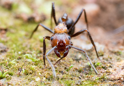 Myrmicaria natalensis  Kibale forest, Uganda