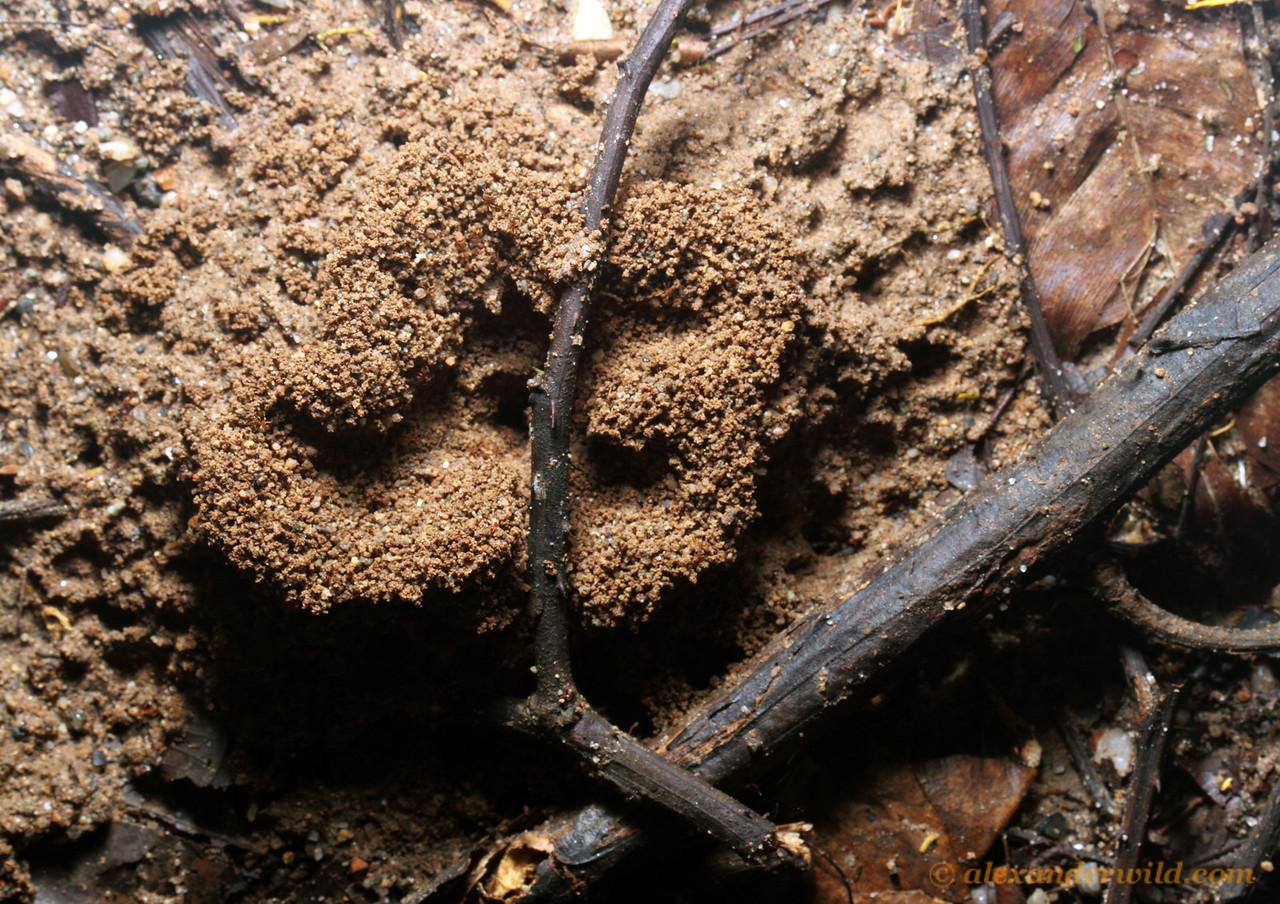A Myrmicocrypta nest in the Ecuadorian rain forest is marked by an intricate pile of excavated soil.  Jatun Sacha reserve, Napo, Ecuador