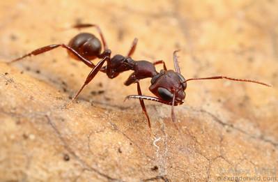 A worker trap-jaw ant (Myrmoteras iriodum) inches forward through the leaf litter.  Danum Valley Field Centre, Sabah Borneo