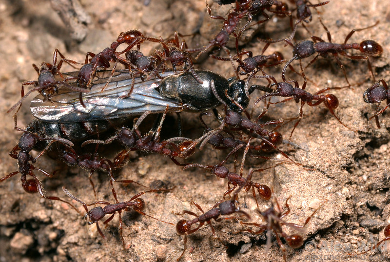 A male army ant during a nighttime nest emigration of Neivamyrmex nigrescens.  Portal, Arizona, USA