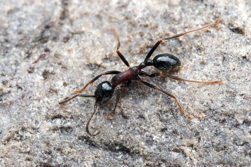 Neivamyrmex melanocephalus  Sycamore Canyon, Arizona, USA