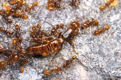 A queen Neivamyrmex opacithorax army ant surrounded by her much smaller worker offspring.  Chiricahua Mountains, Arizona, USA