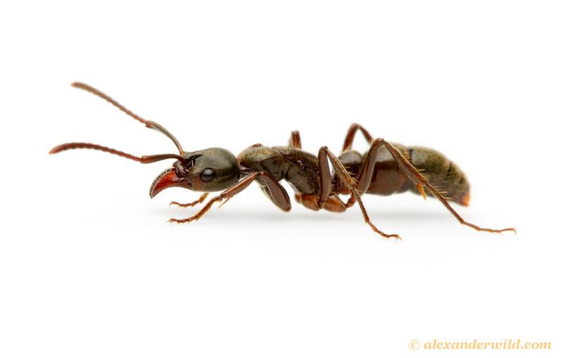 Neoponera crenata