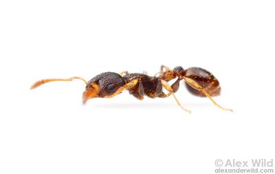 Portrait of a little Nesomyrmex worker ant.  Icononzo, Tolima, Colombia
