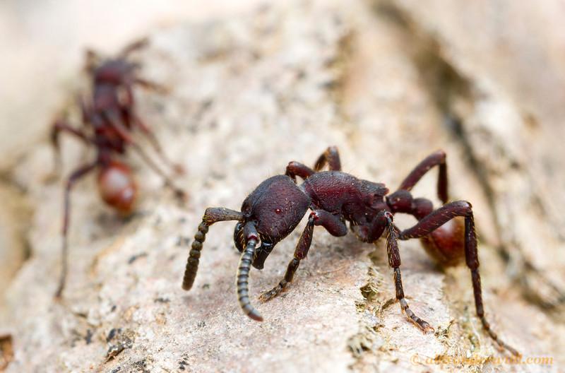 Nomamyrmex esenbeckii   Monte Verde, Minas Gerais, Brazil