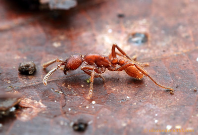 Nomamyrmex hartigii is the rarer of the two Nomamyrmex army ant species.  Maquipucuna reserve, Pichincha, Ecuador