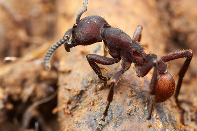 A soldier of Nomamyrmex esenbeckii, the most heavily armored of the army ants.  As these ants are predators of the giant Atta leafcutting ants, they require stout, sturdy appendages to withstand the slicing mandibles of their prey.  Gamboa, Panama