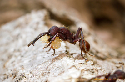 A small Nomamyrmex esenbeckii worker returns from a successful raid on a Pheidole ant colony.  Monte Verde, Minas Gerais, Brazil