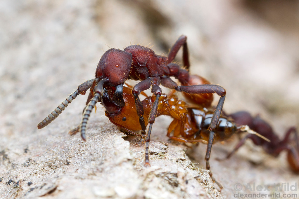 Nomamyrmex esenbeckii is a master predator of other ants. Here, a worker carries off a Pheidole soldier she has paralyzed, transporting the prey in typical army ant style- slung under her body.  Monte Verde, Minas Gerais, Brazil