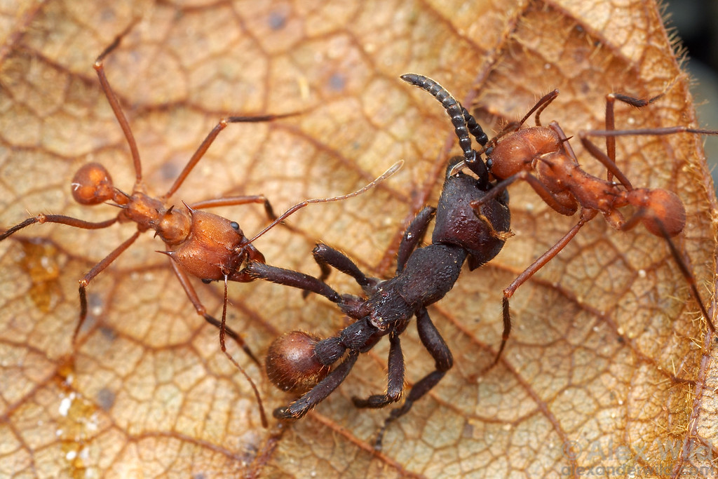 Nomamyrmex army ants are among the few animals that successfully attack leafcutter ant nests.  The leafcutters are not without their defenses.  Here two Atta workers attack and kill a Nomamyrmex esenbeckii scout, preventing the army ants from discovering the leafcutter's trail.  Gamboa, Panama