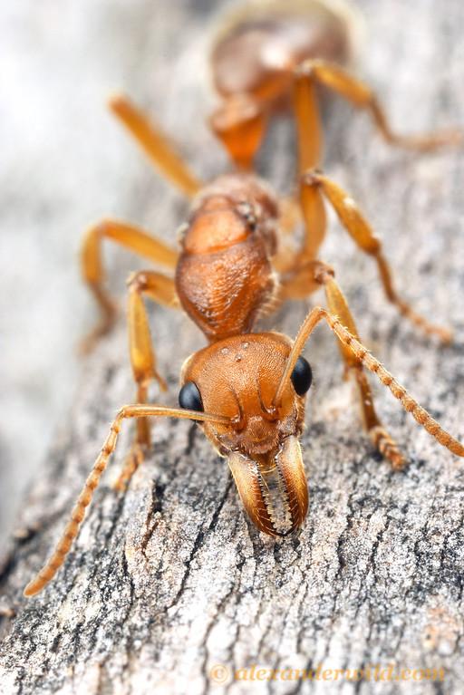 Nothomyrmecia macrops, queen  Poochera, South Australia