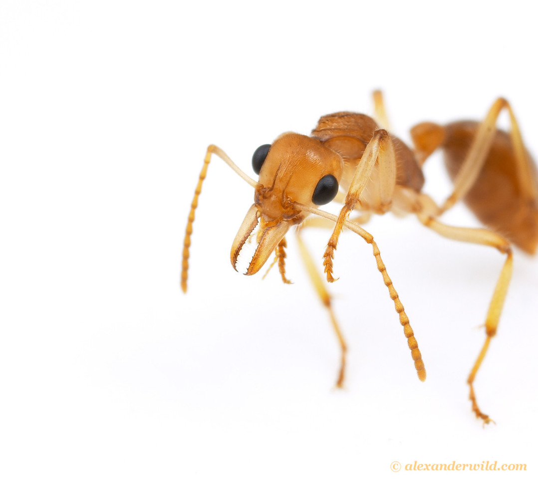 Nothomyrmecia macrops.  Worker grooming her antennae using a special brush on her foreleg.  Ants are meticulously clean animals.  Poochera, South Australia