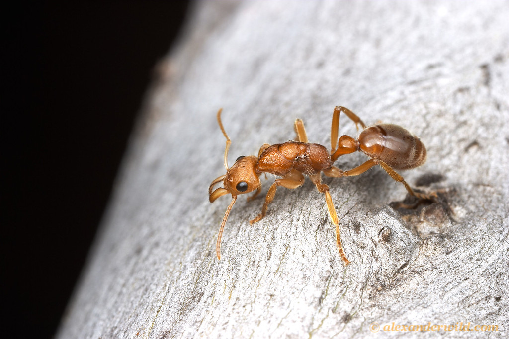 A Nothomyrmecia macrops queen walks along a Eucalyptus trunk at night.  Poochera, South Australia