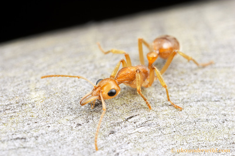The foraging habits of Nothomyrmecia macrops are unusual.  Although these ants nest in soil, they forage in trees only on very cold nights.  It is thought that they catch insects immobilized by the cold.   Poochera, South Australia