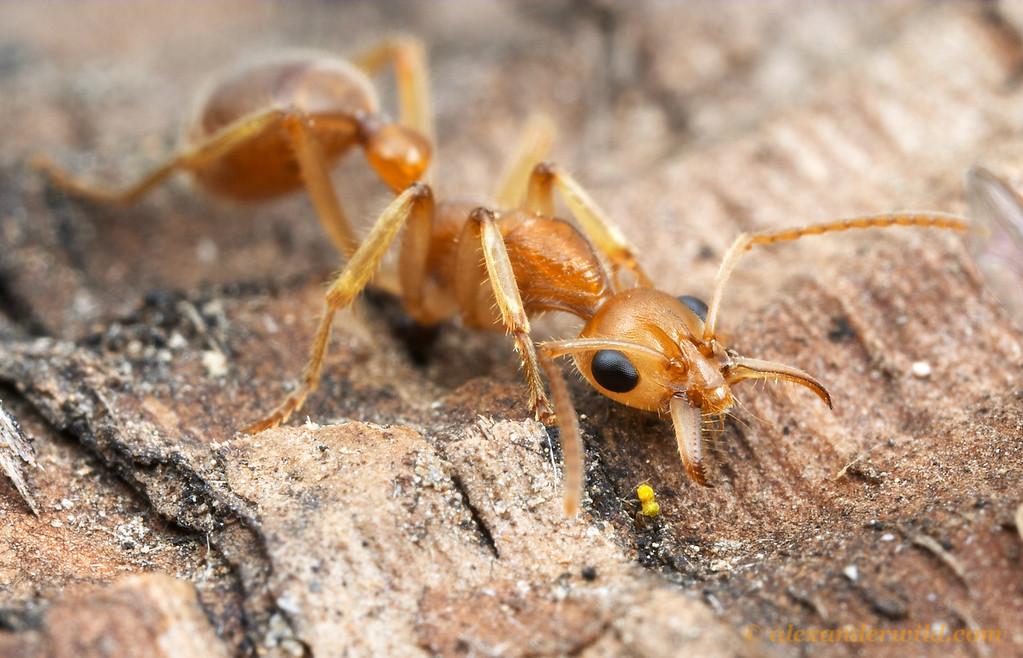 Nothomyrmecia macrops, mandibles open in prey-capture position.  Poochera, South Australia