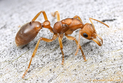 Nothomyrmecia macrops dinosaur ant queen.  Poochera, South Australia