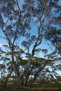 Mallee Habitat, home of the dinosaur ant Nothomyrmecia macrops.  Poochera, South Australia