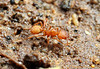 Octostruma : Octostruma is a genus of small, cryptic myrmicine ants found in the New World tropics.