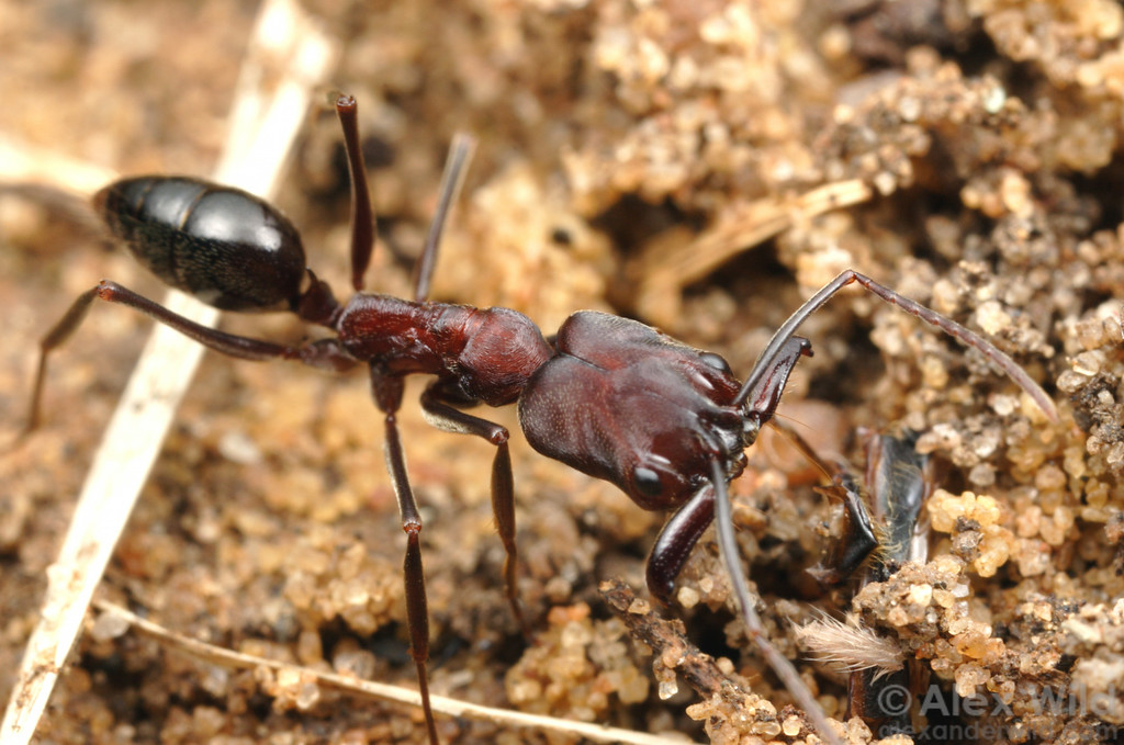 Odontomachus troglodytes, a widespread African trap-jaw ant.  St. Lucia, KZN, South Africa