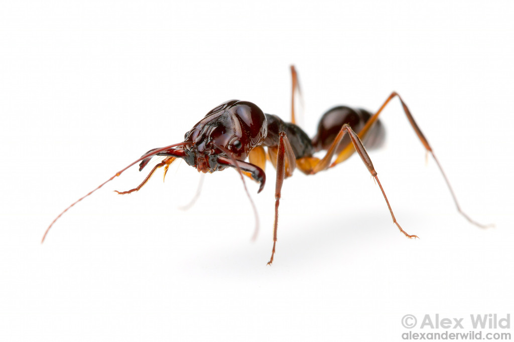 Odontomachus sp. trap-jaw ant.  Cambodia (Laboratory colony at the University of Illinois)