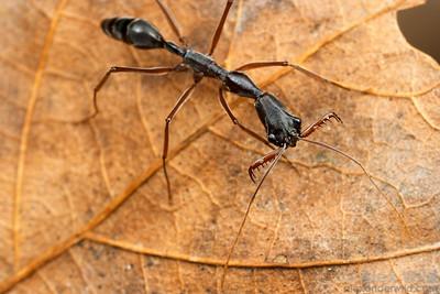 Odontomachus coquereli  Madagascar