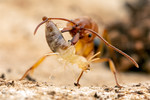 Odontomachus clarus