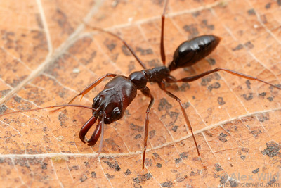 Odontomachus assiniensis  St. Lucia, KZN, South Africa