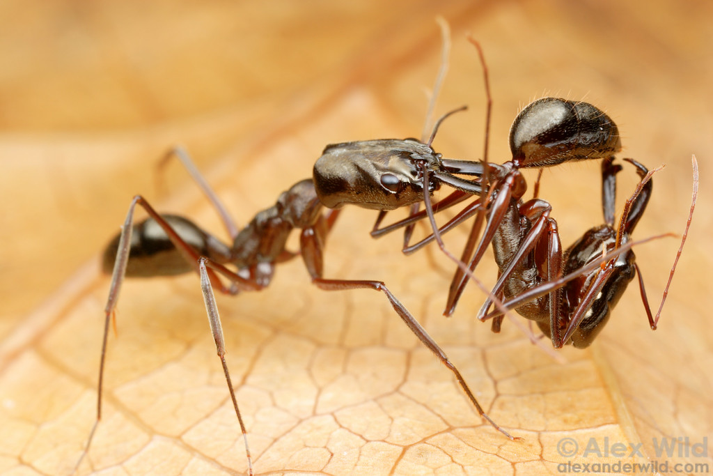 Odontomachus chelifer. Ants from different colonies don't normally tolerate each other.  Here, a trap-jaw ant dispatches an intruder from a neighboring nest.  Aragua, Venezuela