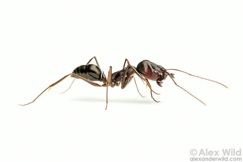 Odontomachus cephalotes