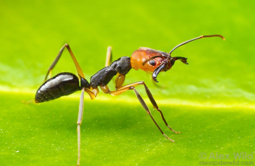 Odontomachus erythrocephalus  Icononzo, Tolima, Colombia